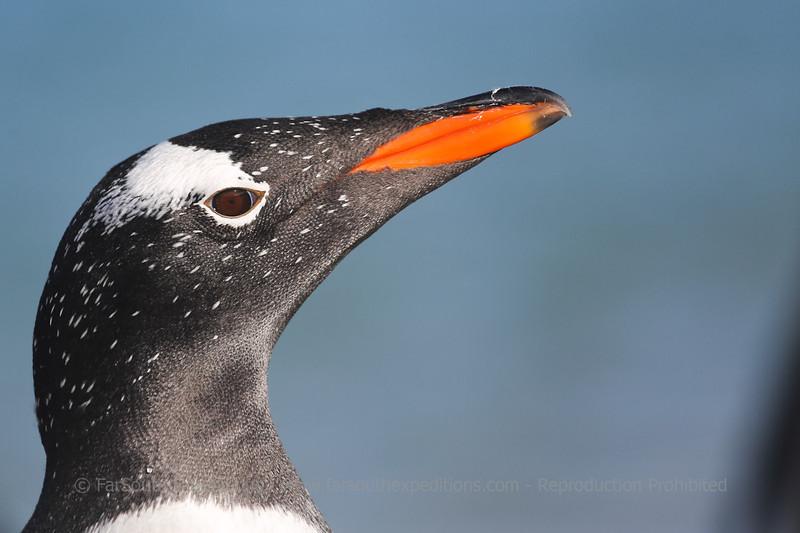 Gentoo Penguin (Pygoscelis papua), Falkland Islands / Islas Malvinas