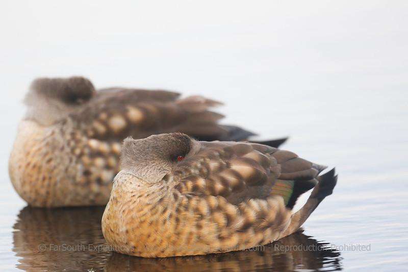 Crested Ducks (Lophonetta specularioides), Pebble Island, Falklands Islands / Islas Malvinas