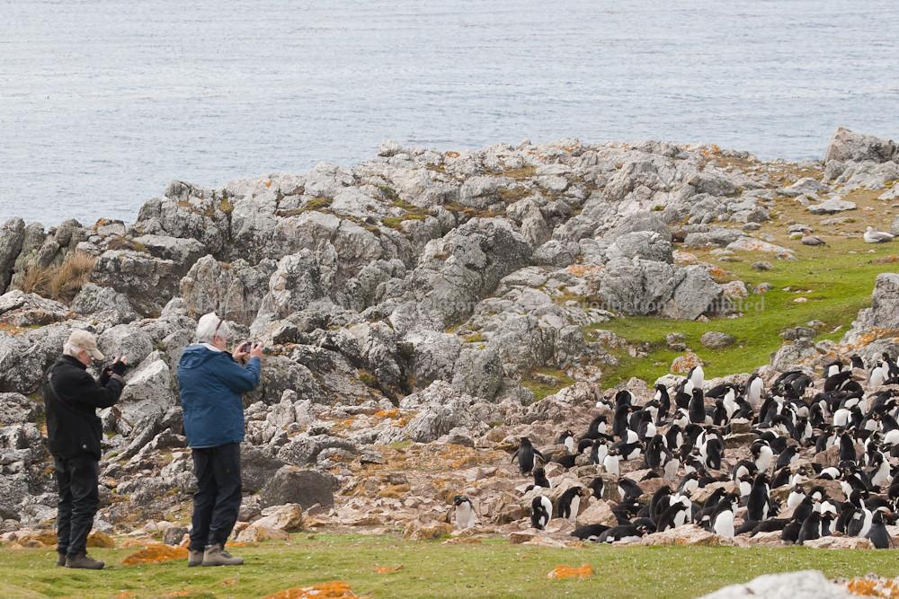 Watching a colony of the charismatic Rockhopper Penguins, Pebble Island, Falkland Islands / Islas Malvinas