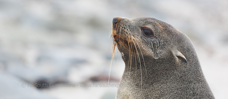 Southern Fur Seal (Arctocephalus australis), Falkland Islands / Islas Malvinas © Enrique Couve, Far South Expeditions