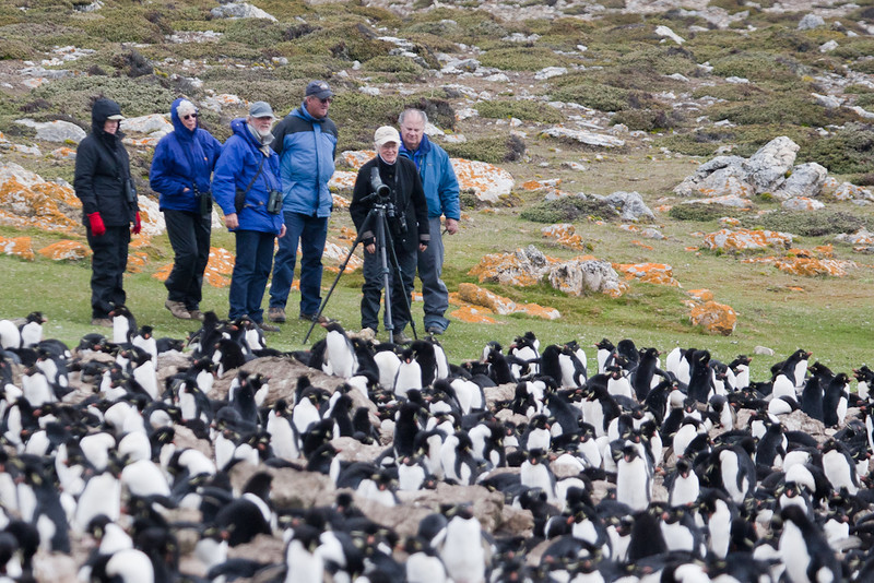 Watching a colony of the charismatic Rockhopper Penguins, Pebble Island, Falkland Islands / Islas Malvinas