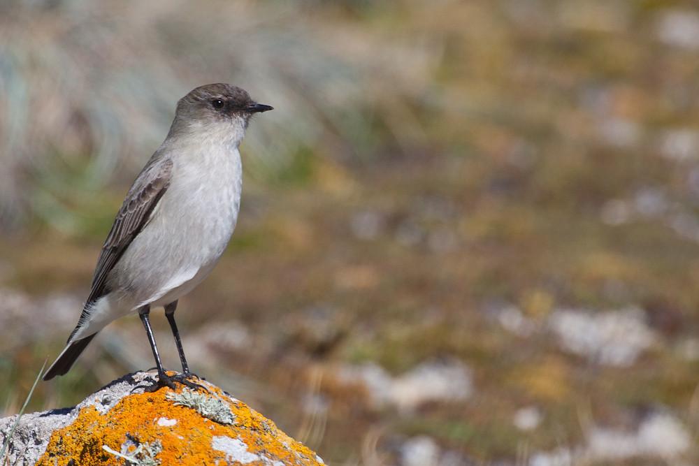 Dark-faced Ground-Tyrant (Muscisaxicola macloviana), Sea Lion Island, Falkland Islands