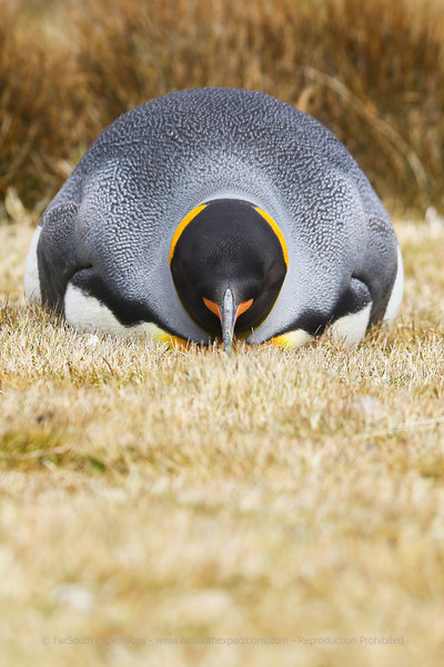 King Penguin (Aptenodytes patagonica), Volunteer Point, Falklands Islands / Islas Malvinas