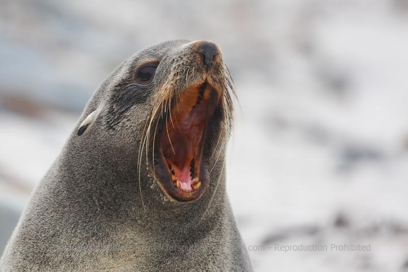 Southern Fur Seal (Arctocephalus australis), Falkland Islands / Islas Malvinas © Enrique Couve, Far South Expeditions