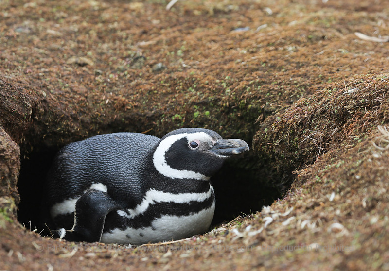 Magellanic penguin (Spheniscus magellanicus), Sea Lion Island, Falkland Islands / Islas Malvinas