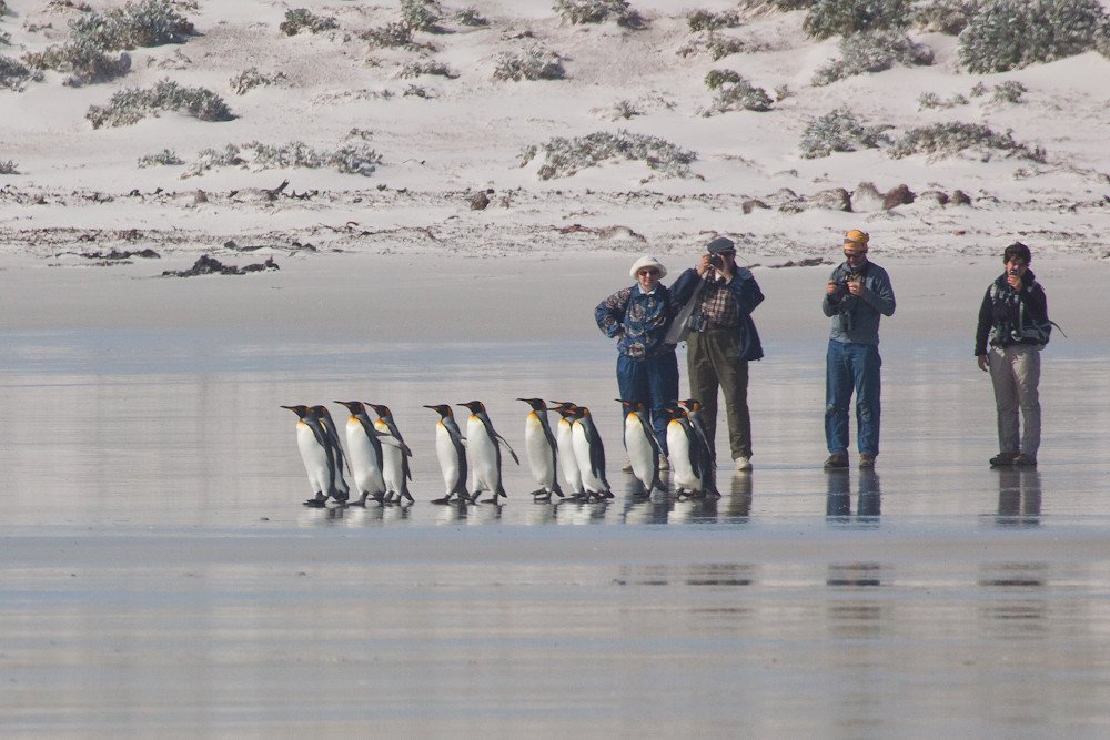 King Penguins and our guests at Volunteer Point, Falkland Islands