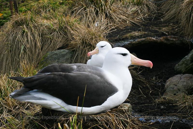 Black-browed Albatross (Thalassarche melanophris), West Point Island, Falkland Islands / Islas Malvinas