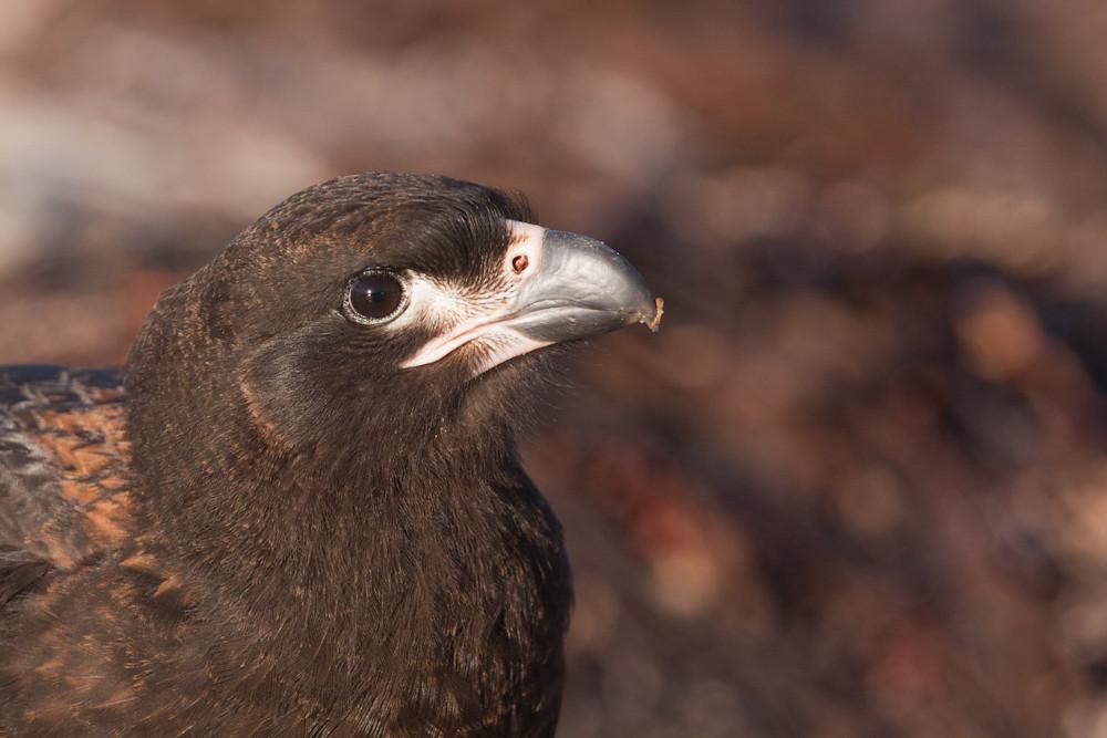 Striated Caracara, locally known as 'Johnny Rook' (Phalcoboenus australis), Carcass Island, Falkland Islands / Islas Malvinas