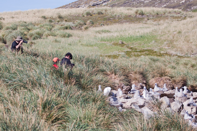 Our guests photographying the albatross rookery of West Point Island, Falkland Islands / Islas Malvinas