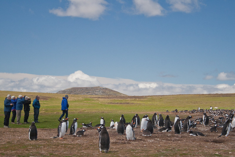 Our group approaching a rookery of Gentoo Penguin (Pygoscelis papua), Pebble Island, Falkland Islands / Islas Malvinas