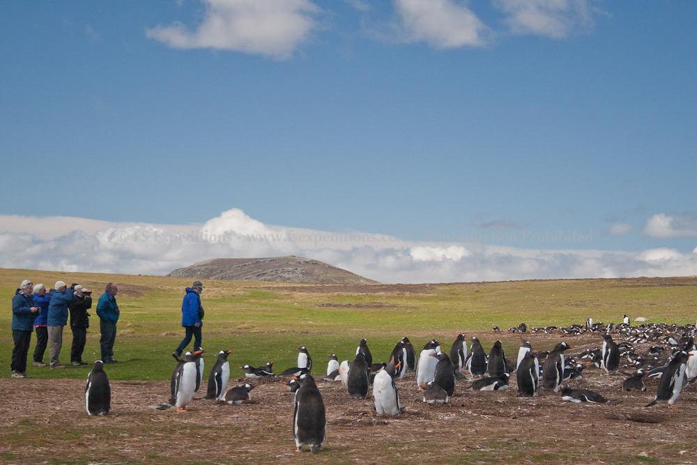 Our group approaching a rookery of Gentoo Penguin (Pygoscelis papua), Pebble Island, Falkland Islands / Islas Malvinas