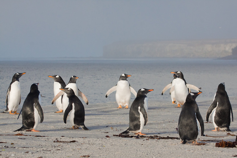 Gentoo Penguins (Pygoscelis papua), Sea Lion Island, Falkland Islands / Islas Malvinas