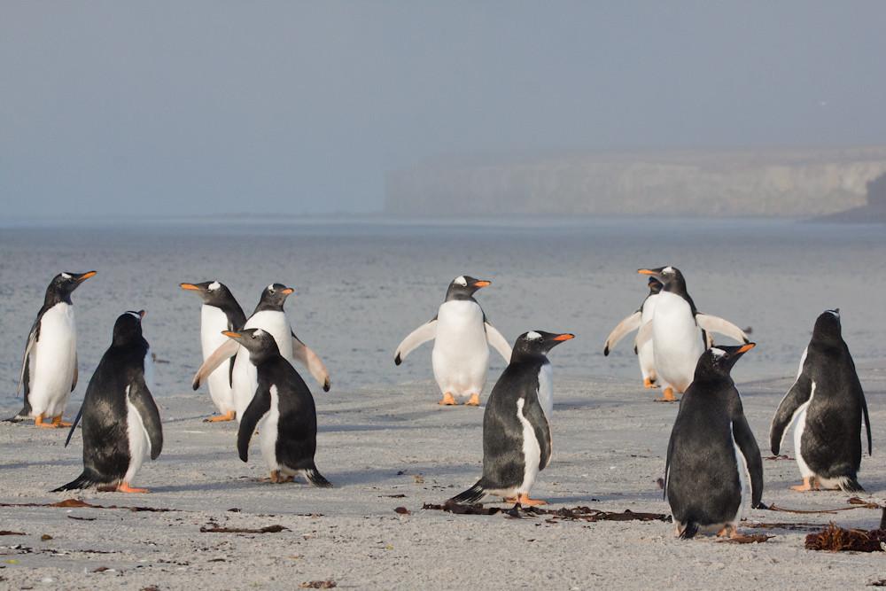 Gentoo Penguins (Pygoscelis papua), Sea Lion Island, Falkland Islands / Islas Malvinas