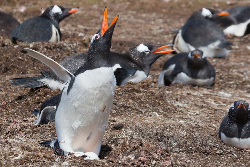 Gentoo Penguin (Pygoscelis papua), Pebble Island, Falkland Islands / Islas Malvinas