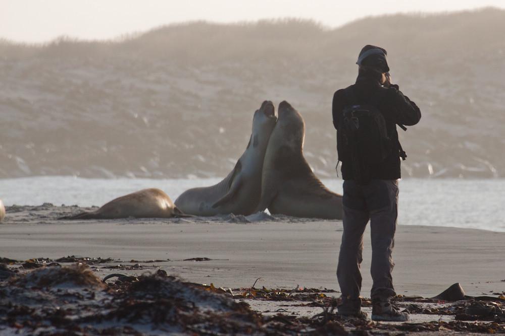 Guest Carlos Tampier taking shots of Southern Elephant Seals (Mirounga leonina), Sea Lion Island, Falkland Islands / Islas Malvinas