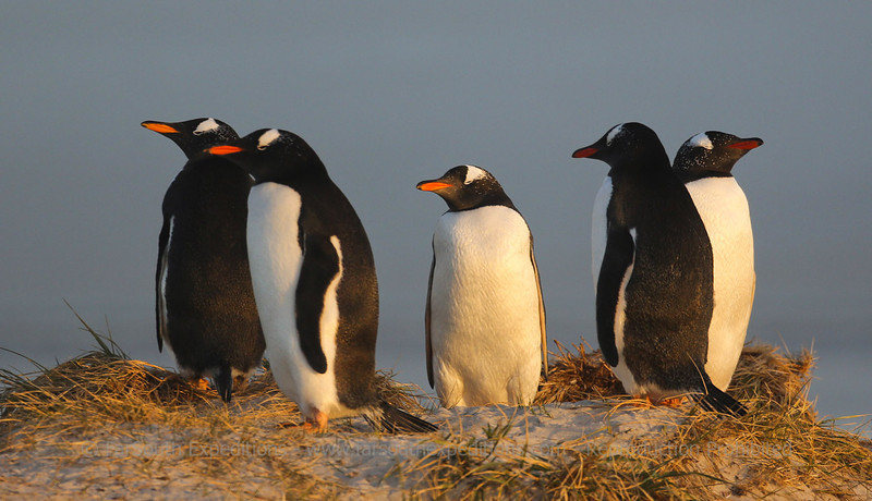 Gentoo penguins (Pygoscelis papua) at sunset, Falkland Islands / Islas Malvinas