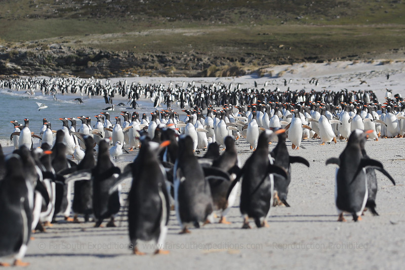 Gentoo penguins (Pygoscelis papua) heading to the sea, Pebble Island, Falkland Islands / Islas Malvinas