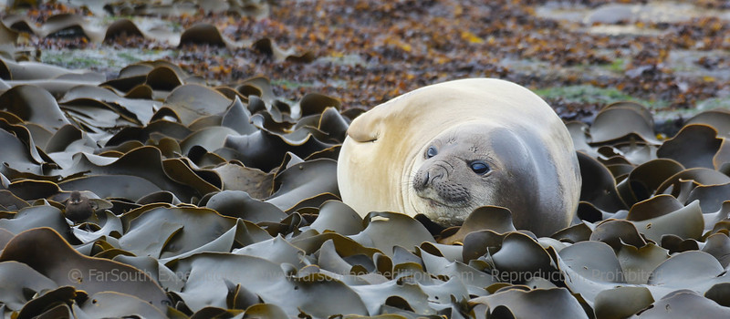 Female of Southern Elephant Seal (Mirounga leonina), Sea Lion Island, Falkland Islands / Islas Malvinas