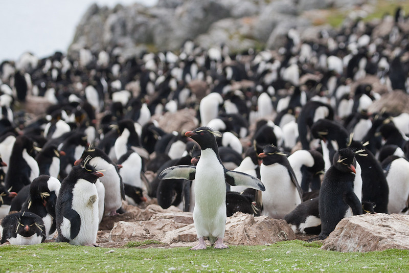 Rockhopper Penguin (Eudyptes chrysocome), Pebble Island, Falkland Islands / Islas Malvinas