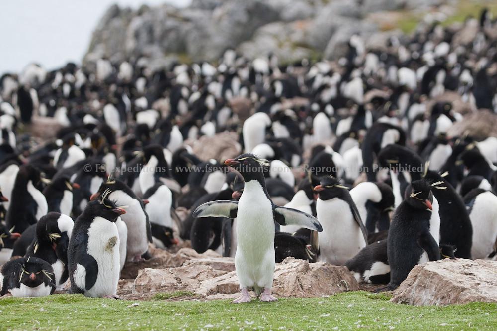 Rockhopper Penguin (Eudyptes chrysocome), Pebble Island, Falkland Islands / Islas Malvinas