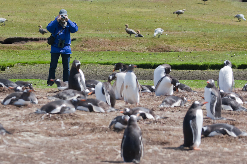 Close penguin encounters at Pebble Island, Falkland Islands / Islas Malvinas