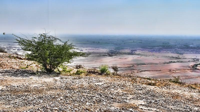 Devi - The mesquite of Sindh - Prosopis Juliflora