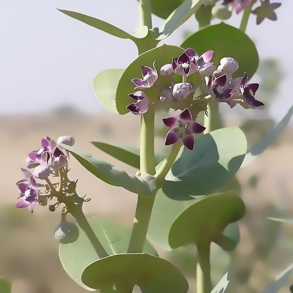 Calotropis Plant
