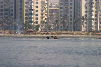 Camels in the ocean.