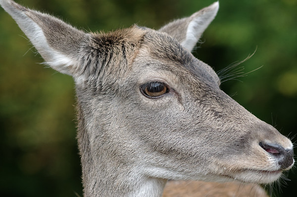 Portrait study of a doe