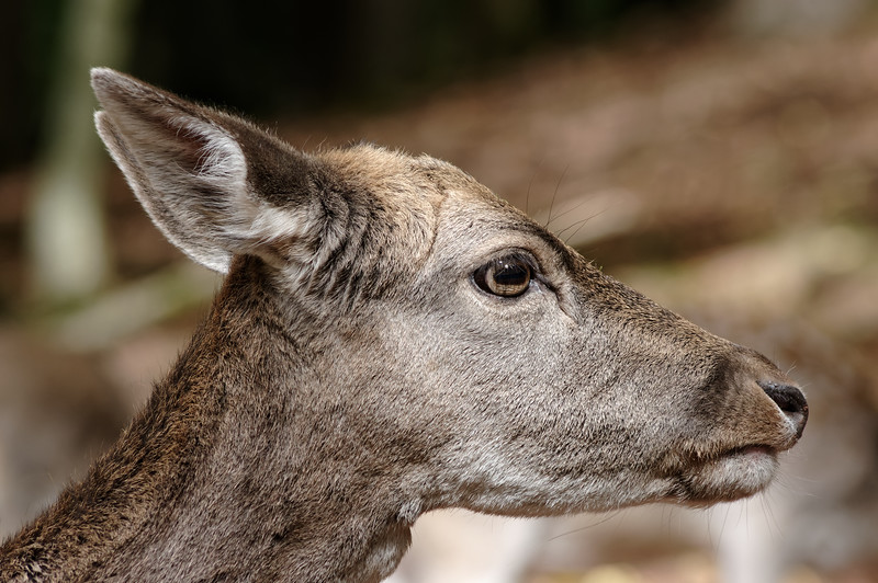 Fallow deer doe in profile