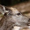 Fallow deer doe in profile