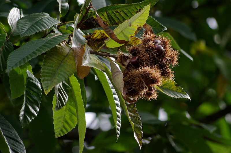 Ripe chestnuts in their tree