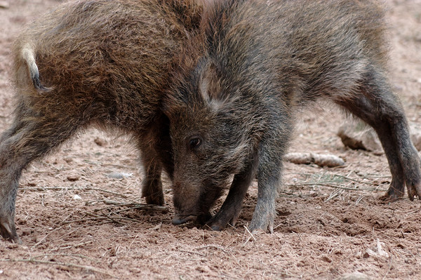 Wild boar youngsters, fun-wrestling