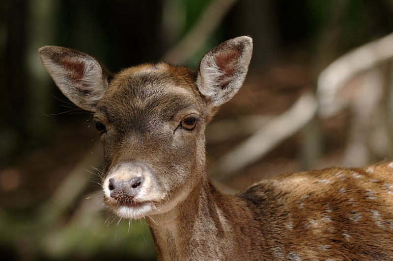 Deer youngster in observation mode