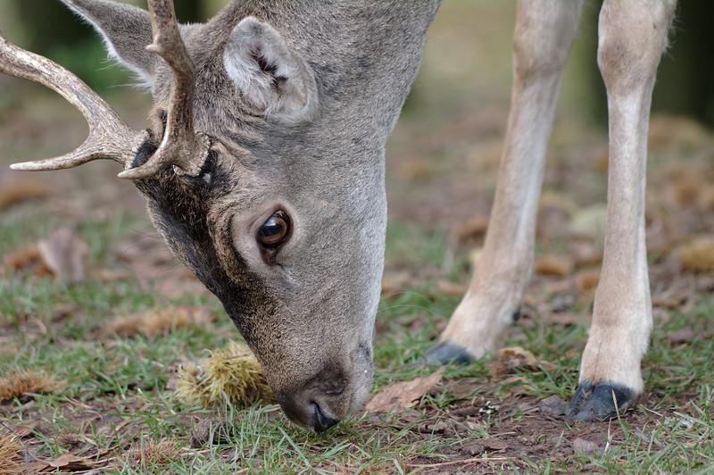 Fallow deer buck, foraging