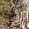 Young fallow deer foraging at Wildlife Park Silz