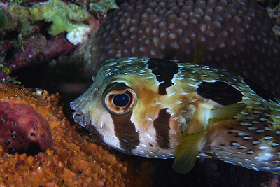 BlackBlotched Porcupine fish