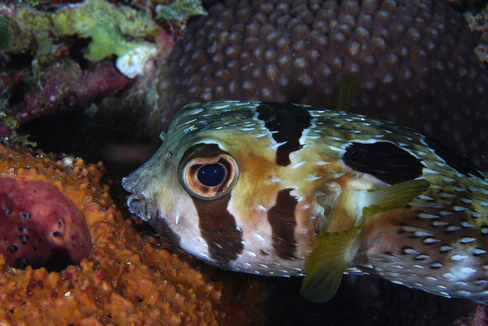 BlackBlotched Porcupine fish