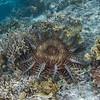 Acanthaster planci, Crown of Thorns sea star