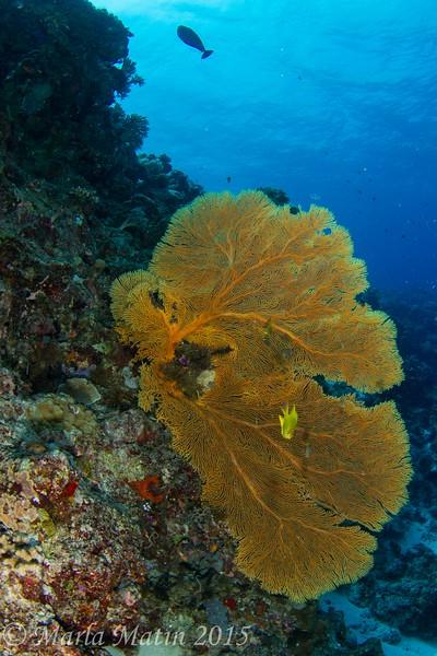 Melithea sp. sea fan