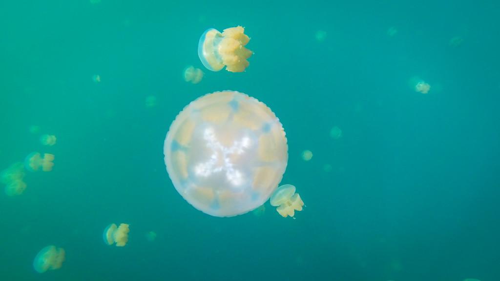 Jellyfish Tour Palau