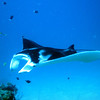 A manta circles the cleaning station at the mouth of the German Channel, Palau.  2011-01-22.