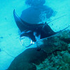A black manta ray with white underbelly circles below me.