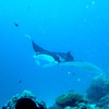 A black manta ray with white underbelly rises above the coral balmy cleaning station at the mouth of the German Channel, Palau.  2011-01-15.