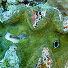 """Giant Clam resting in the Ulong Channel.  Note the fish on the left side of the photo is dwarfed by the size of this clam.    """"Clams feed on plankton by filter feeding. Clams filter feed by drawing in water containing food using an incurrent siphon. The food is then filtered out of the water by the gills and swept toward the mouth on a layer of mucus. The water is then expelled from the animal by an excurrent siphon."""" [Wikipedia.]"""