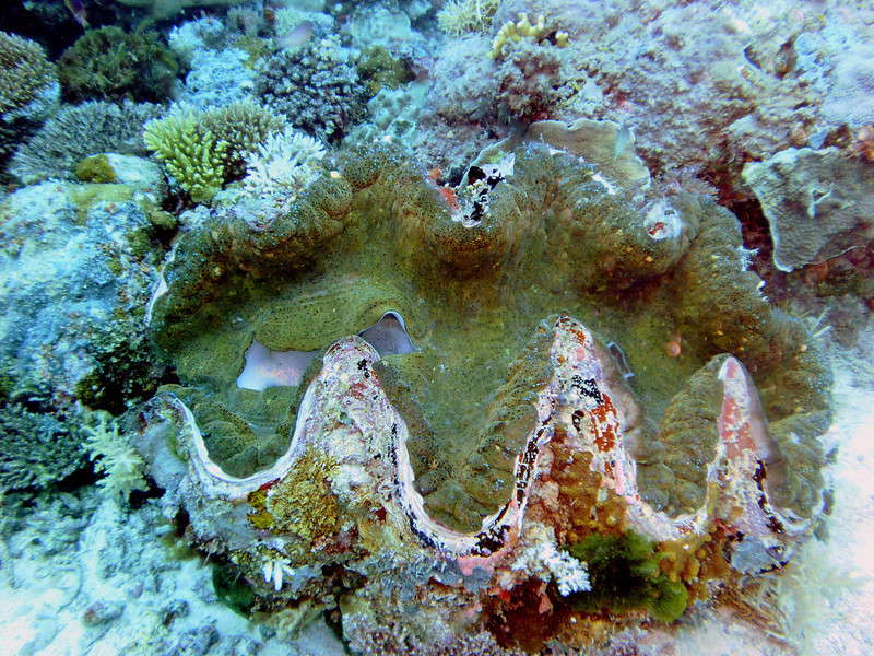 "Giant Clam (speckled green color) rests in the Ulong Channel.  A clam this size can be 200 years old.  It's about 4' across.   ""Clams feed on plankton by filter feeding. Clams filter feed by drawing in water containing food using an incurrent siphon. The food is then filtered out of the water by the gills and swept toward the mouth on a layer of mucus. The water is then expelled from the animal by an excurrent siphon."" [Wikipedia.]"