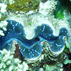 """A blue clam disguises itself by reflecting the color of the blue coral to its right.  A """"clam has no head, and usually has no eyes, (scallops are a notable exception), but a clam does have kidneys, a heart, a mouth, and an anus."""" [Wikipedia.]"""