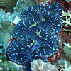 Blue clam living with antler coral on the right.