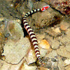 "Ringed Pipefish eyes are visible in this photo. This Pipefish has a ""red tail with white margin and a central white spot"" and white alternating bars encircling the body.   See Paul Humann, et al, Reef Creature Identification - Tropical Pacific (2010) at page 162."