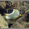Saddled Butterflyfish. See Gerald Allen, et al, Reef Fish Identification - Tropical Pacific (2003) at page 24.